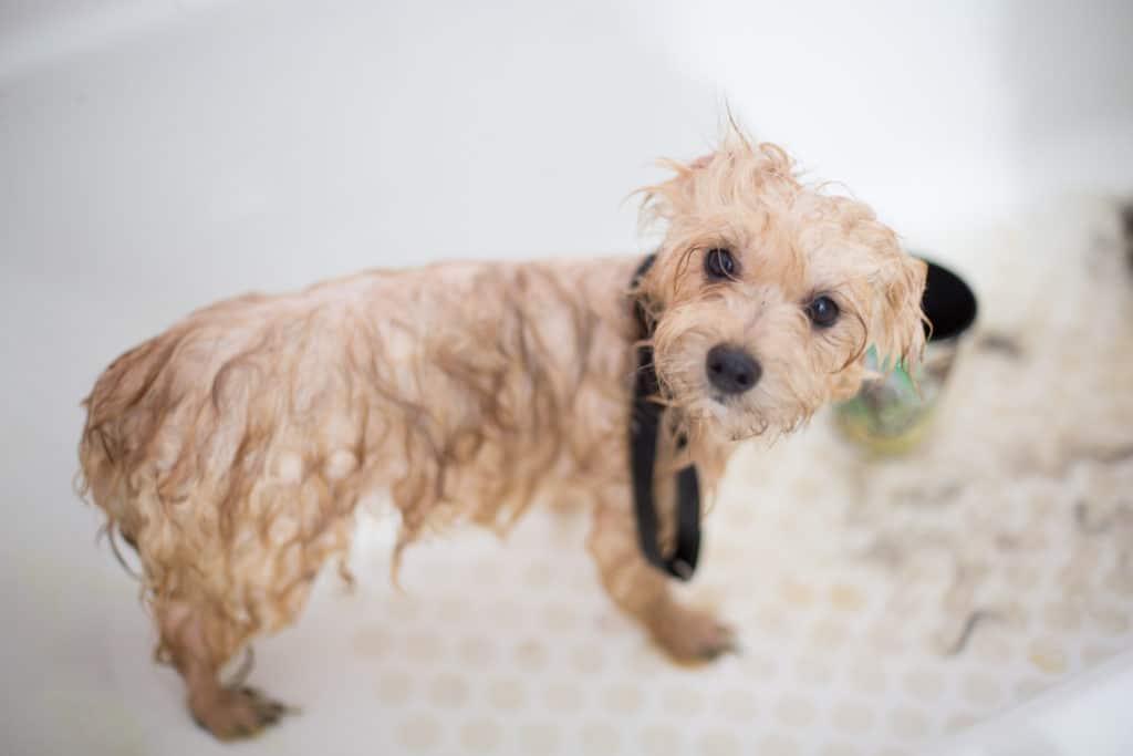 Wet Poodle Puppy inBathtub