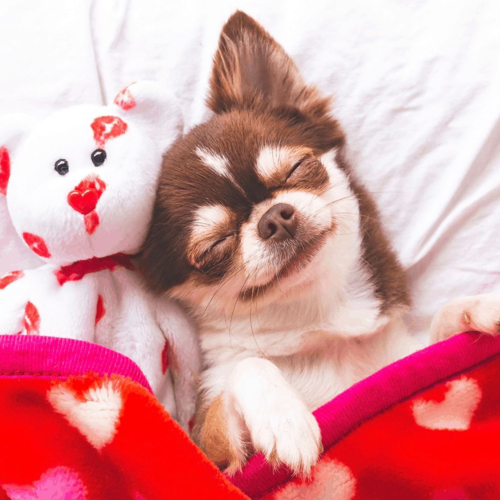 clean dog laying in bed with stuffed animal