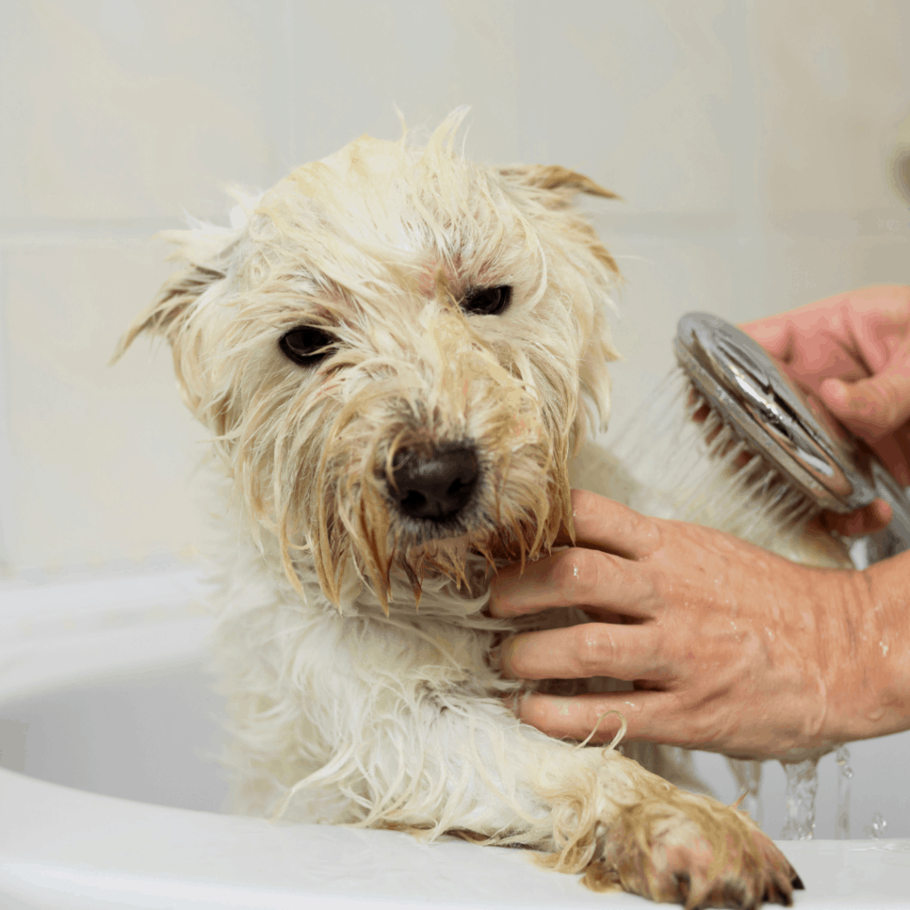 a white dog being rinsed in the bathtub